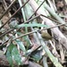 Dumetia atriceps nigrifrons - Photo (c) P. Raja, todos los derechos reservados, uploaded by P Raja