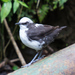 White-capped Dipper - Photo (c) Theresa Bayoud, some rights reserved (CC BY-NC-ND)