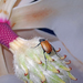 Phyllotocus erythropterus - Photo (c) Simon Grove, כל הזכויות שמורות, uploaded by Simon Grove (TMAG)