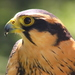 Aplomado Falcon - Photo (c) Big Birdy, all rights reserved