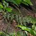 Vandenboschia striata - Photo (c) Jacy Chen, all rights reserved