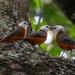 Cossypha heinrichi - Photo (c) Rogério Ferreira, todos los derechos reservados
