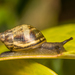 Plectostylus vagabondiae - Photo (c) Patrich Cerpa, all rights reserved