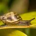 Plectostylus vagabondiae - Photo (c) Patrich Cerpa, kaikki oikeudet pidätetään