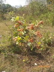 Flemingia strobilifera image