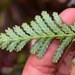 Libocedrus yateensis - Photo (c) Joey Santore, all rights reserved