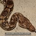 Dumeril's Boa - Photo (c) danielaustin, all rights reserved, uploaded by danielaustin