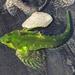 Oligocottus - Photo (c) Brooke Wagner, todos los derechos reservados