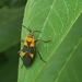 Oncopeltus zonatus - Photo (c) Matt Wallace, todos los derechos reservados