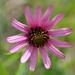 Echinacea tennesseensis - Photo (c) Ian Fraser Dawe, todos los derechos reservados