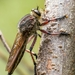 Neoaratus hercules - Photo (c) andrew_mc, todos los derechos reservados