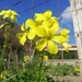 Bermuda Buttercup - Photo (c) Gennaro Vitelli, all rights reserved
