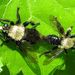 Laphria flavicollis - Photo (c) pbedell, todos los derechos reservados, uploaded by pbedell