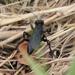 Prionychini - Photo (c) Timothy Reichard, todos los derechos reservados