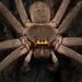 Sparassoidea - Photo (c) Ben Revell, todos los derechos reservados