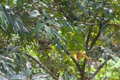 Marcgravia nepenthoides image