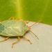 Sinopla perpunctatus - Photo (c) Patrich Cerpa, todos los derechos reservados