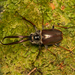 Chilean Stag Beetle - Photo (c) Patrich Cerpa, all rights reserved