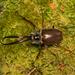 Ciervo Volante - Photo (c) Patrich Cerpa, todos los derechos reservados