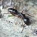 Camponotus fallax - Photo (c) Axolotl Sta, all rights reserved