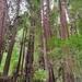 Secuoya Roja - Photo (c) kmvogelsang, todos los derechos reservados