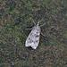 Eudonia truncicolella - Photo (c) Nigel Voaden, todos los derechos reservados
