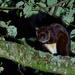 Petaurista albiventer - Photo (c) 黄秦, όλα τα δικαιώματα διατηρούνται