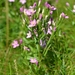 Lesser Centaury - Photo (c) Oskar Gran, some rights reserved (CC BY-NC)