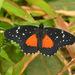 Mariposa Parche Carmesí - Photo (c) Juan Carlos Garcia Morales, todos los derechos reservados