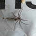 Brown Recluse - Photo (c) tonyg, all rights reserved, uploaded by Tony Gerard