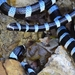 Brown-lipped Sea Krait - Photo (c) Joey Santore, some rights reserved (CC BY-NC)