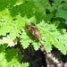 Xylophagidae - Photo (c) pbedell, todos los derechos reservados, uploaded by pbedell
