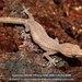 Madagascar Clawless Geckos - Photo (c) Daniel Austin, all rights reserved
