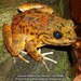 Grandidier's Madagascar Frog - Photo (c) Daniel Austin, all rights reserved