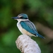 Sacred Kingfisher - Photo (c) robbi_and_elisa, all rights reserved