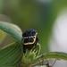 Gymnetis ramulosa - Photo (c) Jonathan Herrera, todos los derechos reservados