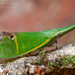 Odontoptera carrenoi - Photo (c) Frank Deschandol, all rights reserved