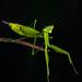 Hicetia - Photo (c) Projeto Mantis, todos los derechos reservados