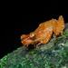 Nyctixalus pictus - Photo (c) roythedivebro, todos los derechos reservados