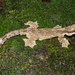 Kuhl's Flying Gecko - Photo (c) roythedivebro, all rights reserved