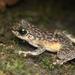Amolops larutensis - Photo (c) roythedivebro, όλα τα δικαιώματα διατηρούνται