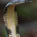 King Cobra - Photo (c) Frank Canon, all rights reserved