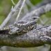 Chotacabras Menor - Photo (c) Eduardo Pacheco Cetina, todos los derechos reservados