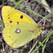 Clouded Yellow - Photo (c) Marcello Consolo, all rights reserved