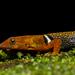 Gonatodes concinnatus - Photo (c) Juan Gonzalez, todos los derechos reservados