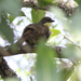 Atimastillas flavicollis flavigula - Photo (c) David Beadle, όλα τα δικαιώματα διατηρούνται, uploaded by dbeadle