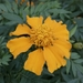 Mexican Marigold - Photo (c) milton norman medina, all rights reserved