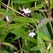 Lobelia anceps - Photo (c) greenmthort, todos los derechos reservados
