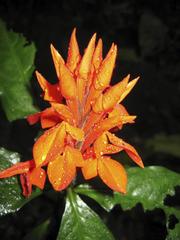 Aphelandra aurantiaca image