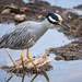 Yellow-crowned Night-Heron - Photo (c) Omar Del Toro, all rights reserved